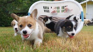 Baby Corgi Puppies in Basket