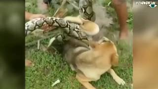 Парни Спасли Собаку Которую Пыталась Задушить и Съесть Змея