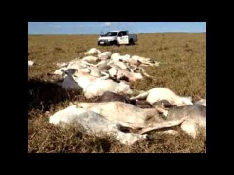 Boi Sequestro, a origem da carne podre vendida no Brasil - Boato