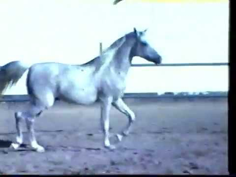 Bahrain Arabian Horses Video 1985 Part 1