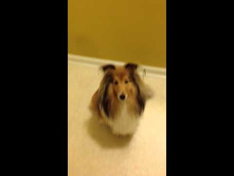Shelties Sing Happy Birthday