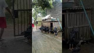 Video Ayam Bangkok, batu lapak / batu rantai. download MP3, 3GP, MP4, WEBM, AVI, FLV Oktober 2018