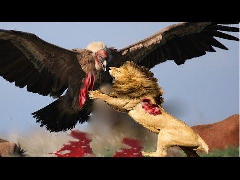 Live: TOP 100 The most Amazing Attacks Of Wild Animals Eagle,lion,Crocodile, buffalo, elephant..Etc