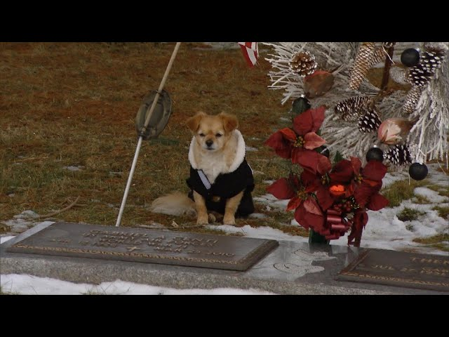 Chihuahua Won't Leave Owner's Gravesite