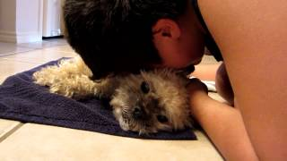 My Last Moments With Sueii Shih Tzu Heart Disease