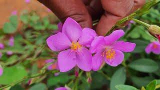 7 Plantas Bulbosas Fáceis De Cultivar