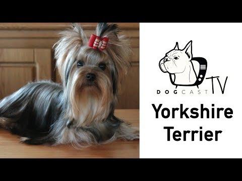 A Yorkshire Terrier kutya fajta - DogCast TV S02E10