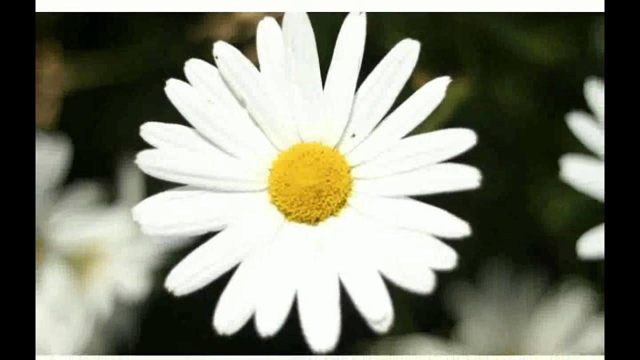 White Flower Images Youtube