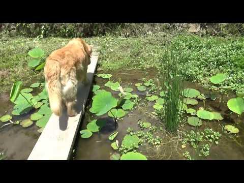 今日の蓮根池ビオトープ、メダカ、ヤゴ、マツモムシ、トノサマガエル