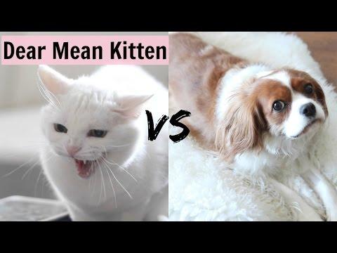 Dear Mean Kitten   Cats vs Dogs   Herky The Cavalier and Puppy Milton