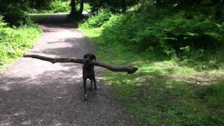 Weight Lifting German Shorthaired Pointer