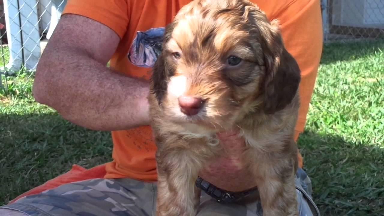 Mini Springerdoodle puppies-oldmcdoodlefarm com