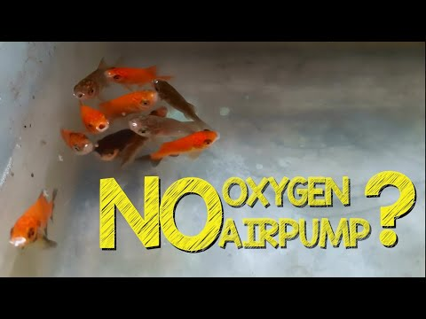 Goldfish Without Air Pump/Oxygen?