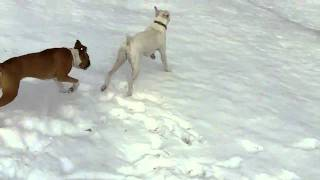My White Boxer Dog and Daisy Playing in the Snow