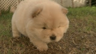 Chow Puppy Almost Hits the Wall, DOESN