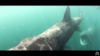 HD Scottish Wildlife Spectacular - Basking Shark Scotland 2015