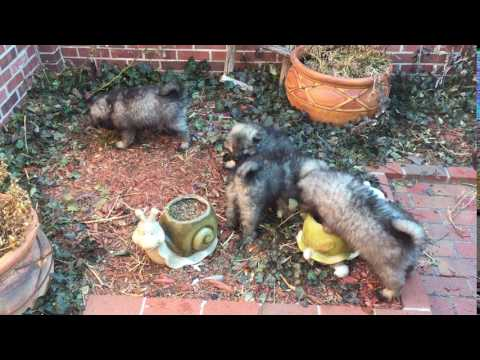 PuppyFinder.com : Litter 2_20a