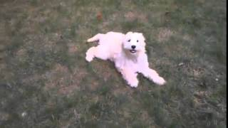 Cute Golden Doodle Puppy Running In Circles