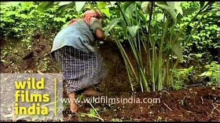 Cardamom cultivation - Kerala
