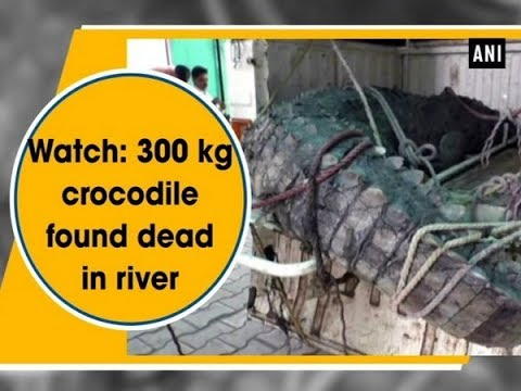 Watch: 300 Kg Crocodile Found Dead In River - Gujarat News