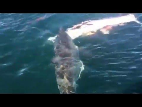 Shark vs Minke Whale