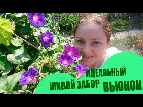 Идеальный Живой Забор С Цветами 🌻 Все Лето и пол осени (украина) 🌸 Вьюнок 🌸  🌻 Множество Цветов🌼🌼🌼