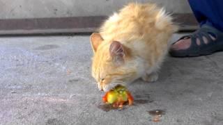 Кот ест помидор. Cat eats a tomato.