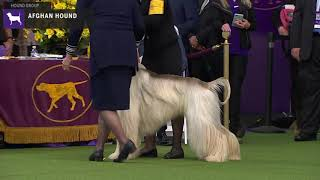 Afghan Hounds | Breed Judging 2020