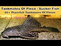 Pleco fish Tankmates #Top 25 Best Tankmates Of Plecos Sucker fish