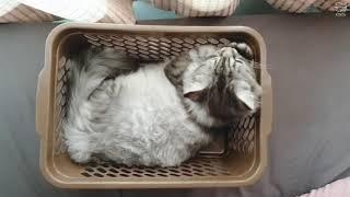 Kitty likes basket !!!!! น้องแมวกับตะกร้า #kitten #kitty #cat #persian