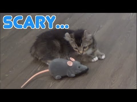 【LON】 Kitten VS Giant Mouse!!! [CC Available] |Kinoshita Yuka
