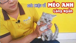 Giới thiệu cách nuôi Mèo Anh Lông Ngắn