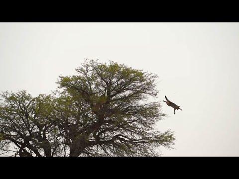 Dramatic African Wildcat Escape