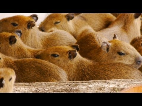 那須どうぶつ王国に 11匹カピバラ赤ちゃん登場 (11 baby capybaras at Nasu Animal Kingdom)