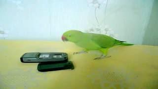 Попугай крамер Варужан ищет работу+Varuzhan looking for a job