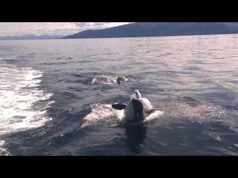 Killer whale breaching at Lynn Canal