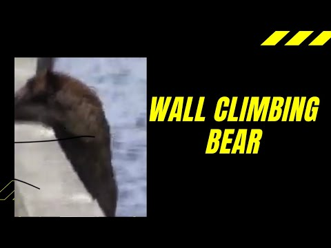 Black bear climbs over wall at Yellowstone Lake