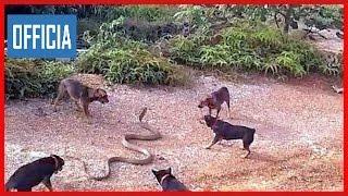 Дикие Животные Бороться До Смерти Бредовые Животных Бои Пойманных Собак Прот
