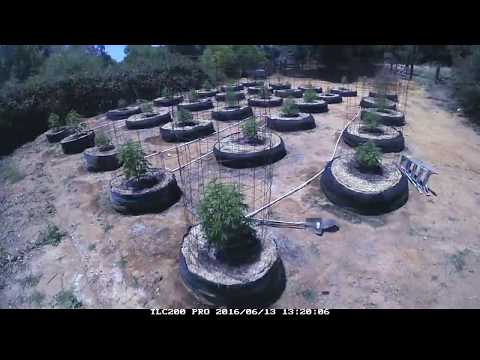 Cannabis plants grow from 1ft to 12 ft in under 2mins!!!  2016 Time Lapse outdoor garden