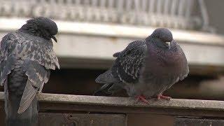 Экосистема Петербурга: сколько в городе голубей и крыс и почему нельзя кормить уток и белок