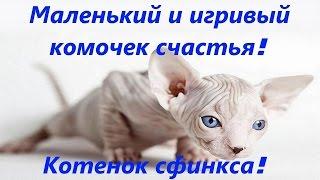 Котенок Сфинкс Донской Жорик, лысый котенок! Маленькое и красивое чудо![#Сфинкс]