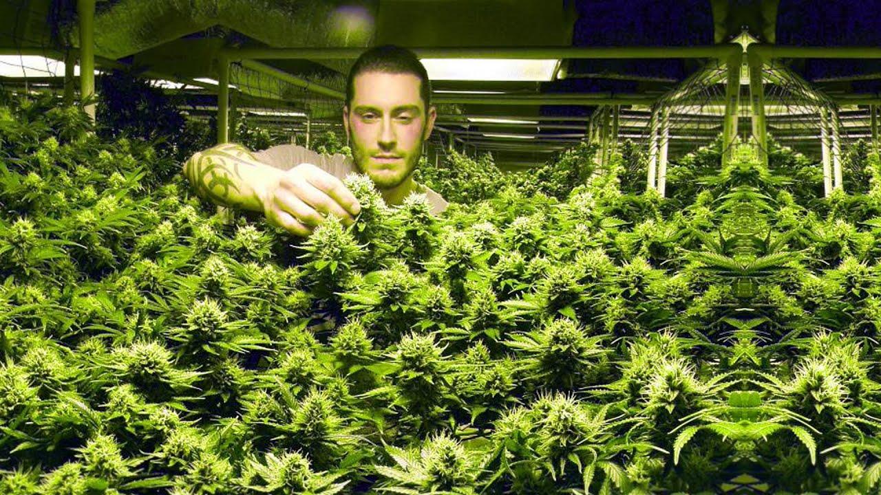 Hd Pot Wallpaper Cannabis Legalisierung In Colorado Der Marihuana
