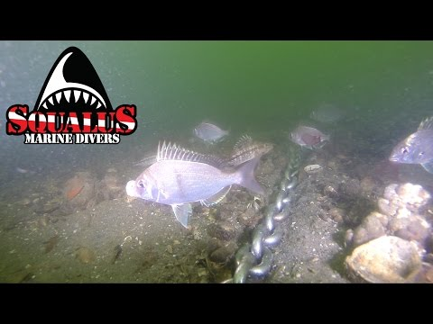 CRAB MEADOW NORTHPORT NEW YORK - SQUALUS MARINE DIVERS