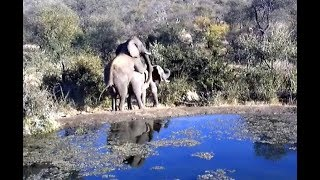 Elephants mating at Rosie