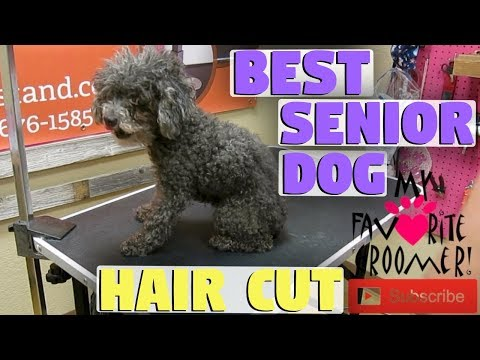 Short Haircut on a Senior Dog