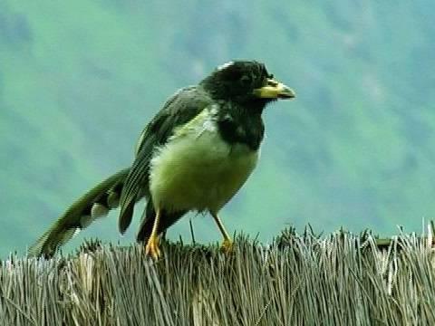 Yellow Billed Magpie, Haridwar