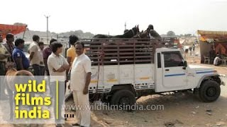 Horses of different breed sold at Pushkar fair, Rajasthan