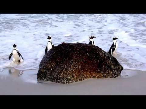 African Penguins of Boulders Beach