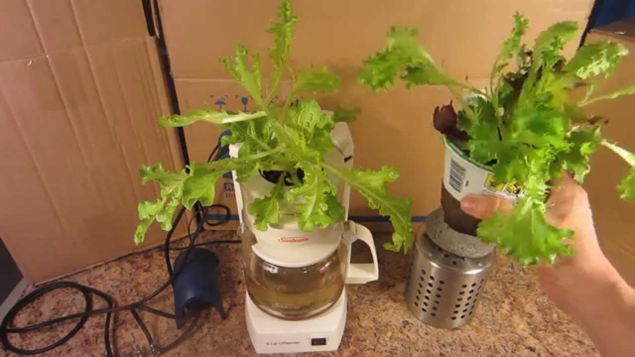 Coffee Pot Hydroponics 1 Week Update - YouTube