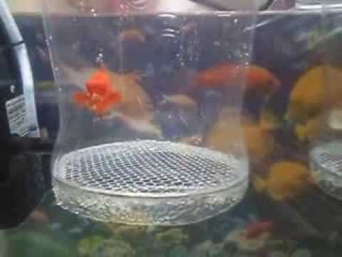 Paridera casera aqp guppys y cola de espada youtube for Paridera para peces